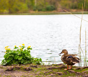 Duck by the lake Royalty Free Stock Image