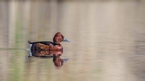 Duck On Lake ferrugineux seul image libre de droits