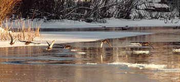Duck on the lake.frozen river, reeds in the morning mist.Early s Royalty Free Stock Image