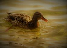 Duck in the lake Royalty Free Stock Photo