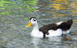 Duck on the lake Kurnas, the island of Crete, Greece Royalty Free Stock Images