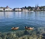 Duck in the Lake Luzern , Luzern, switzerland royalty free stock photo