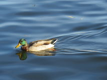 Duck on the Lake. Mallard paddling across the Chesapeake Stock Photos