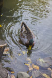Duck in lake. Mallard duck swimming on a river Stock Photo