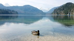 Duck in the lake by mountains stock photo