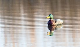 Duck on the lake in the nature Stock Image