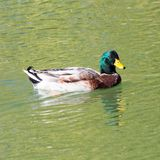 Duck on the lake in the nature Stock Photography