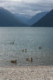 Duck on lake in Nelson Lakes National Park. New Zealand Royalty Free Stock Photo