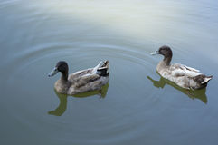 Duck in The Lake Royalty Free Stock Photos