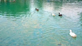 the duck in lake at pamukkale turkey Stock Photography