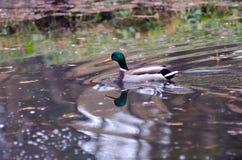 Duck at the lake Royalty Free Stock Photos