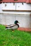 Duck at lake Stock Photo
