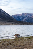 Duck at Lake Pearson Arthur's pass National Park, New Zealand Stock Images