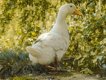 Duck on lake. 2018 photography 123 abcd Stock Photo