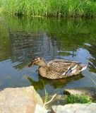 Duck Lake reeds rocks grass. Duck on the water Royalty Free Stock Photos