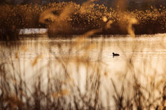 Duck on a lake with reeds at sunset Stock Image