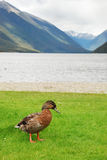 Duck by the lake Rotoroa Stock Image