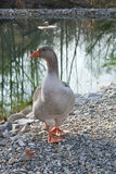 Duck by the Lake Shore Stock Photography