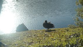 Duck on a lake shore cleaning its feathers. Grass and trees reflection in a lake with sun flare. Duck on a lake shore cleaning feathers with its beak. Grass and stock video