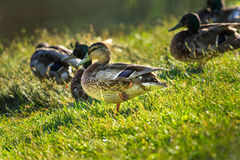 Duck on the lake shore Royalty Free Stock Image