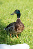Duck on a Lake Stock Image