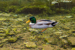 Duck in lake Stock Image