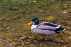 Duck in lake Stock Images