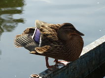 The duck Royalty Free Stock Photography