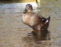 Duck in the lake. Duck sitting in the shallow end of a lake Royalty Free Stock Photo