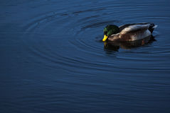 Duck in a lake. Small duck swimming in a lake in Holland Stock Image