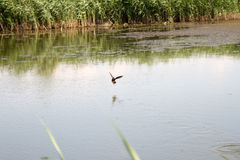 Duck on the lake. Soaring duck on the lake with a reflection of reeds in water Royalty Free Stock Photography