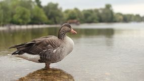 Duck in the lake. stock photography