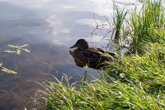 Duck on the lake at summer. background, texture. Royalty Free Stock Photo