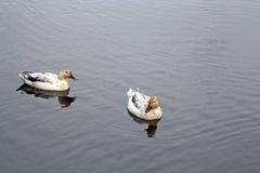 Duck Stock Photos