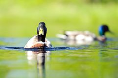 Duck at the lake on a sunny summer day Stock Images