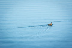 Duck on the lake Royalty Free Stock Photo