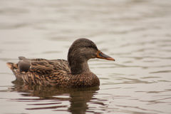 Duck in the lake Stock Image