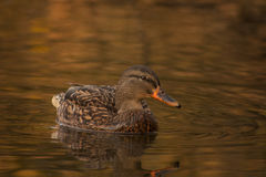 Duck on the lake. Stock Photos
