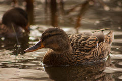 Duck on the lake. Royalty Free Stock Photos