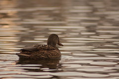 Duck on the lake. Royalty Free Stock Images