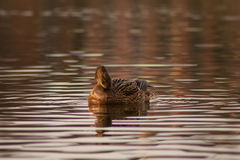 Duck on the lake. Royalty Free Stock Image