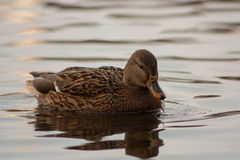 Duck on the lake. Stock Photography
