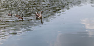Duck in the lake Stock Photos