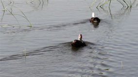 Duck on the lake. Two muscovy duck floating on lake from shore stock video footage