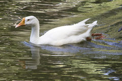 Duck in lake water Stock Images