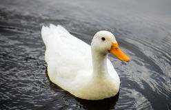 Duck in a lake Stock Images