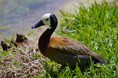 Duck on lake picture Stock Photography
