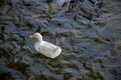 Duck on the lake Stock Photos