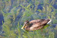 Duck in Lake Stock Photography