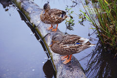 Duck on the lake. Wild duck sitting on a log in the lake Stock Image